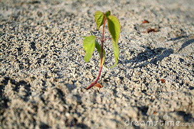 Sprout apricot germinates sand