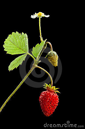 Sprout with flower, green and ripe wild strawberry
