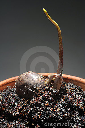 Sprout of rubber seed