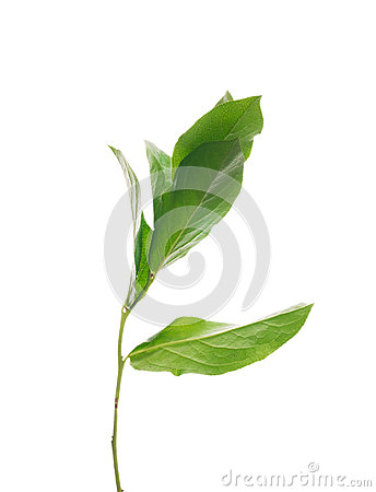 Free Sprout Tree With Leaves ,isolated Royalty Free Stock Photos - 40340628