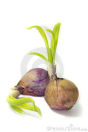 Sprouted Onions