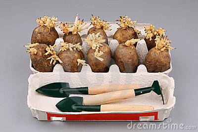 The sprouted tubers of a potato