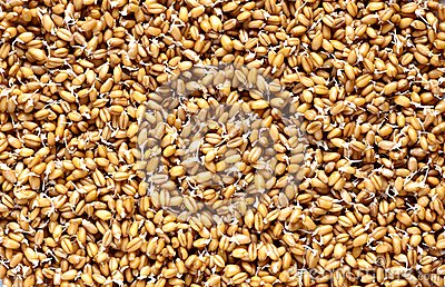 Sprouted wheat background