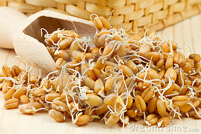 Sprouted wheat seeds with Wooden scoop