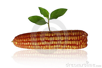 Sprouting corn.