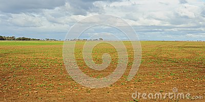 Sprouts of cabbage on field