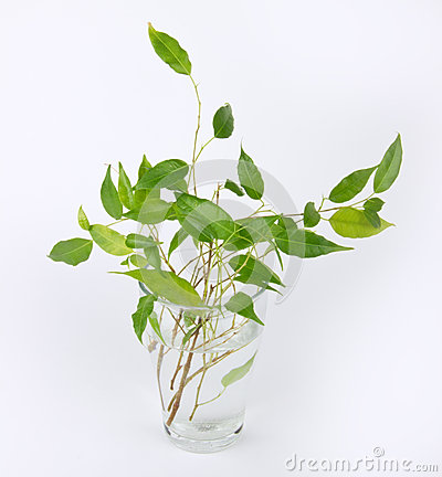 Sprouts of green ficus tree