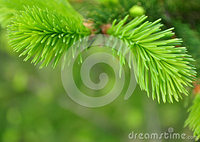 spruce,  background