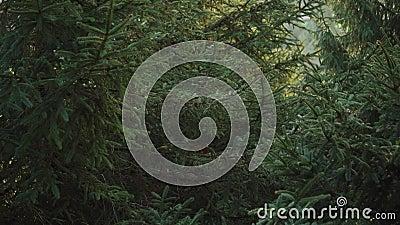 Spruce-bomen met lush-takken in een naaldloos donkerfee-bos stock videobeelden