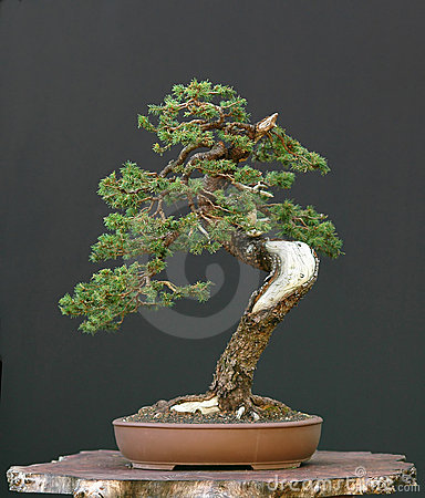 Spruce bonsai