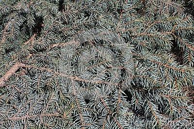 Spruce bough background