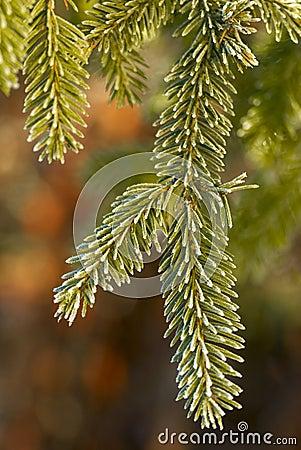 Free Spruce Branch Stock Photo - 11783410