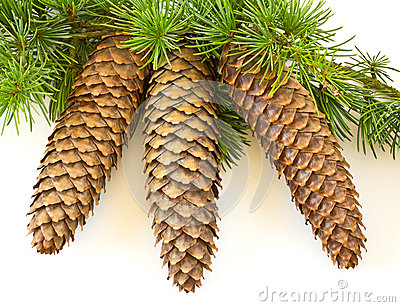 Spruce cones with foliage