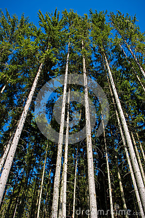 Spruce forest