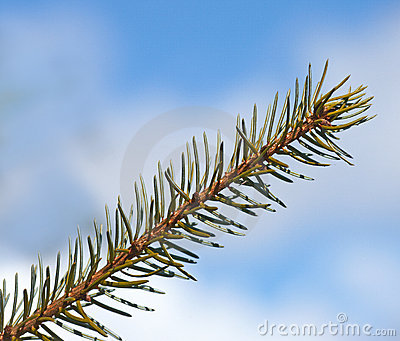 Spruce leaf - very sharp
