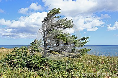 Spruce by the ocean
