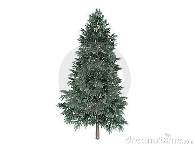 Spruce_(Picea_abies)
