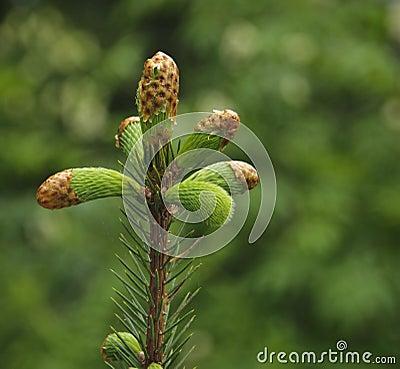 Spruce Tip, Alaska