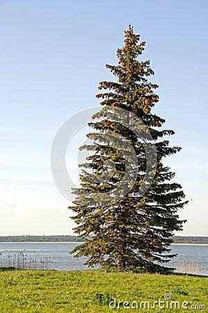 Free Spruce Tree Stock Photos - 5150033