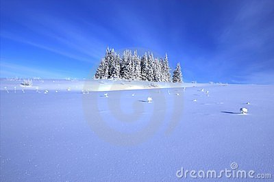 Spruce tree grove with snow