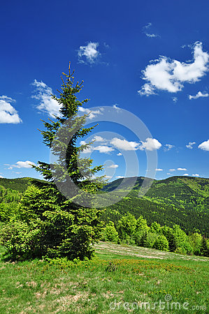 Spruce tree spring nature