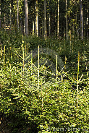 Free Spruce Trees Forest Royalty Free Stock Photos - 17860428