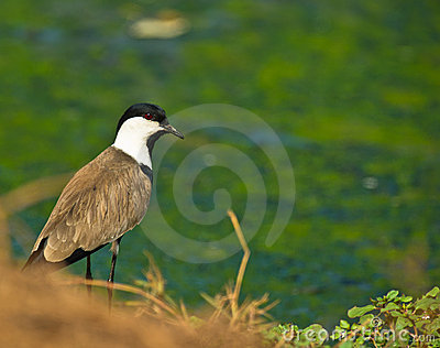 The Spur-winged Lapwing