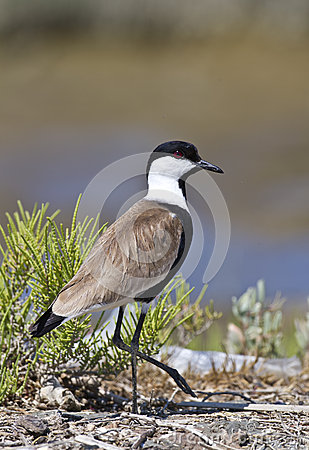 Free Spur-winged Lapwing Royalty Free Stock Photography - 26733887
