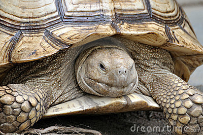 Spurred tortoise