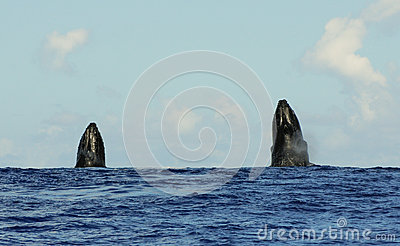 Spyhopping humpback whales