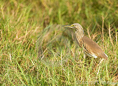 The Squacco Heron