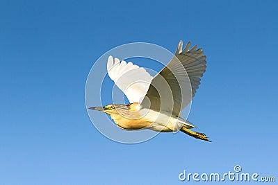 Squacco Heron  / Ardeola ralloides