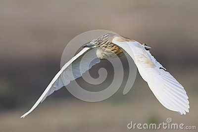 Squacco Heron flying in Southern Africa