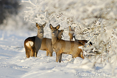 Squad of roe deers