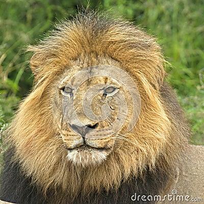 Square Lion