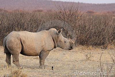 Square-lipped Rhinoceros
