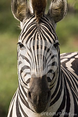 Square Zebra