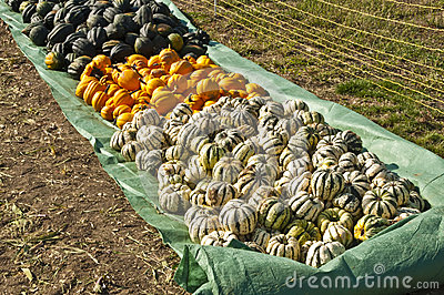 Squash in different kinds
