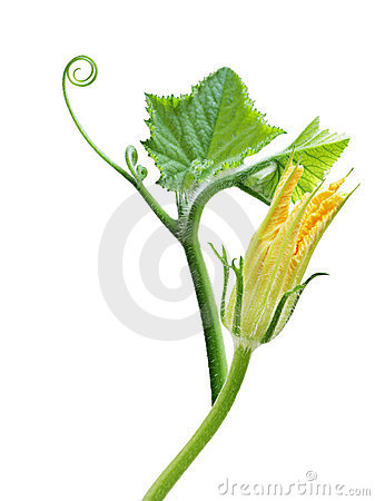 Free Squash Leaves And Flower Stock Images - 8698334