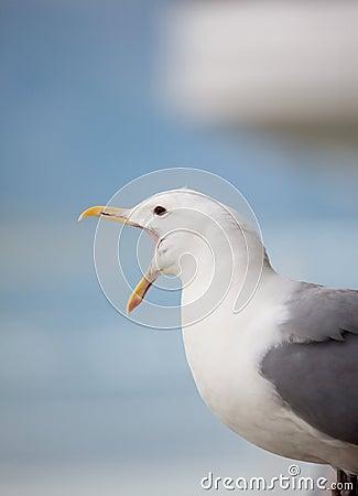 Squawking seagull