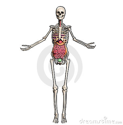 Squelette avec les organes internes