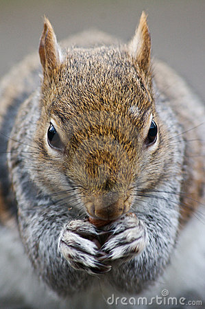 Squirell close up