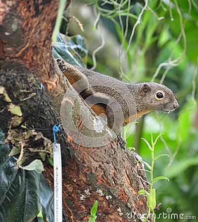 Free Squirrel Stock Image - 13303271