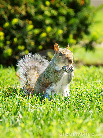Free Squirrel Royalty Free Stock Photo - 22820355