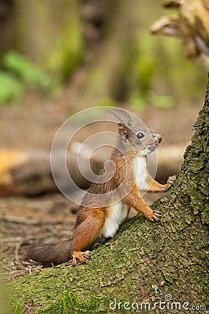 Free Squirrel Stock Image - 22951841