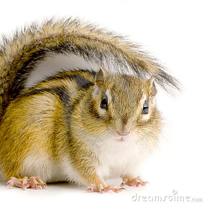 Free Squirrel Stock Image - 2331561