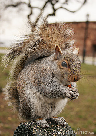 Free Squirrel Royalty Free Stock Photos - 2962628