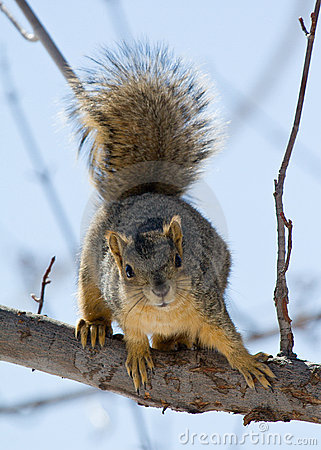 Free Squirrel Royalty Free Stock Photography - 3699157