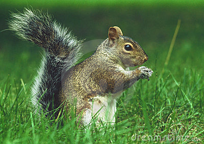 Squirrel Stock Image - Image: 44211