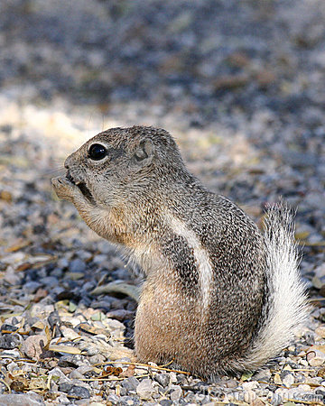 Squirrel Royalty Free Stock Images - Image: 6941979